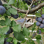 prune fruit fruit picking